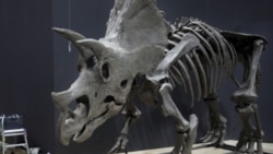 A triceratops skeleton at the National Science Museum in Tokyo in June