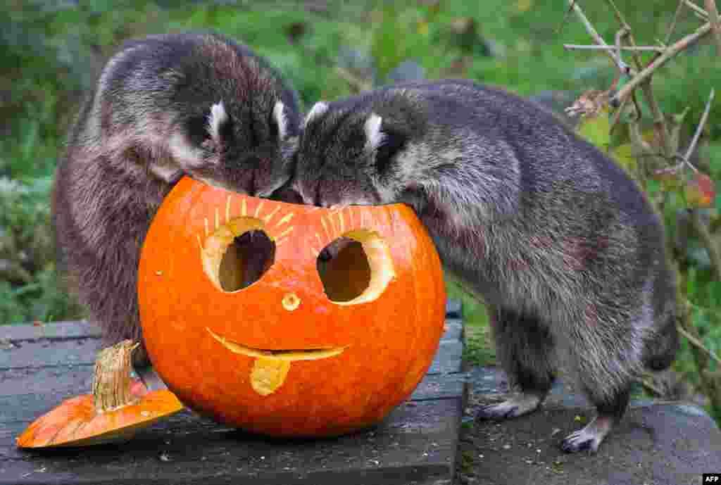 Dua ekor rakun memeriksa buah semangka yang dihias untuk festival Halloween di kebun binatang Hanover, Jerman.
