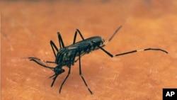 Le chikungunya est transmis par deux espèces de moustiques - Aedes aegypti et Aedes albopictus (AP)