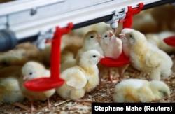 Anak ayam terlihat di peternakan unggas di Pruille-le-Chetif dekat Le Mans, ePrancis, 4 Maret 2020. Di Inggris, sejumlah orang memilih ayam sebagai teman mereka. (Foto: REUTERS/Stephane Mahe)