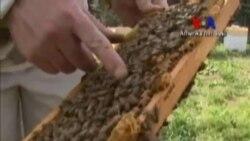 Bal Arıları Büyük Tehdit Altında
