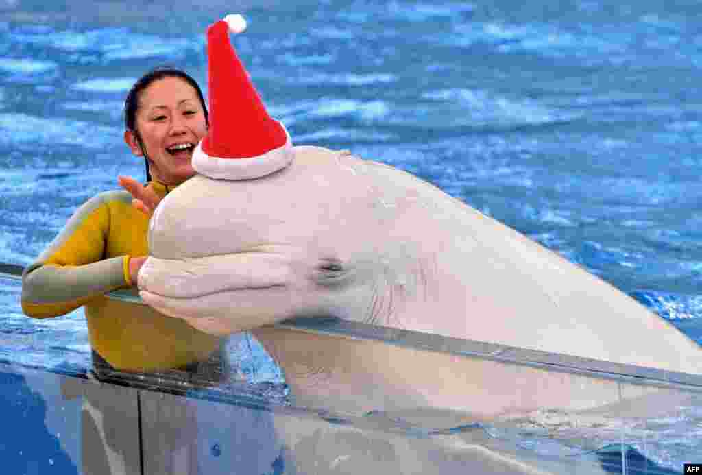 A white beluga whale wears a Santa hat to attract visitors at the Hakkeijima Sea Paradise aquarium in Yokohama, Japan.