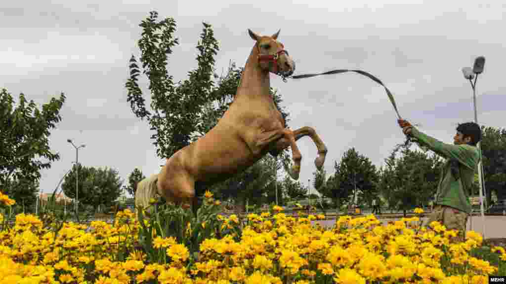 دومین جشنواره ملی زیبایی اسب اصل ترکمن عکس: مریم داورنیا، مهر
