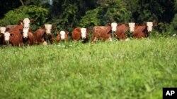 Dengan melakukan diversifikasi pertanian, bertani dan beternak, Dick Thompson bisa melindungi bisnisnya tanpa asuransi pertanian (foto: dok).
