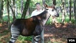 John Lukas with an Okapi or forest giraffe (Okapi Conservation Project)