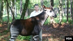 John Lucas with an Okapi or forest giraffe (Okapi Conservation Project)