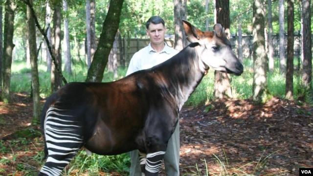 John Lucas with an Okapi or forest giraffe (Okapi Conservation Project)