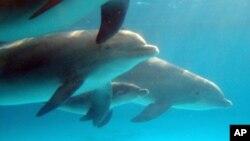 新生小海豚(中间)在母海豚的陪伴下游走在水中。