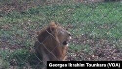 Un des lions dans le zoo d'Abidjan, en Côte d'Ivoire, le 20 janvier 2018. (VOA/Georges Ibrahim Tounkara)