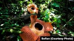 Dua Rafflesia arnoldii mekar di Hutan Lindung Bukit Daun, Register 5 Kabupaten Kepahiang Provinsi Bengkulu. (Foto courtesy:Sofian)