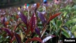 Purple tea leaves are seen at the Gatura Greens purple tea plantation in Gatura settlement of Muranga county, Kenya January 30, 2021. (REUTERS/Thomas Mukoya)