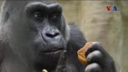 Esaret Altında Doğan İlk Goril Öldü