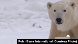 The polar bears' numbers are dropping as the Arctic ice melts, according to conservati0on groups.