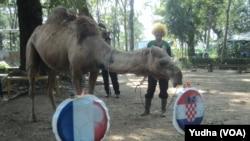 Seekor unta koleksi Solo Zoo meramal tim pemenang Piala Dunia 2018, Jumat, 13 Juli 2018. (Foto: VOA/Yudha)
