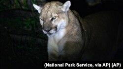 Foto singa gunung dewasa di pegunungan Verdugo, Los Angeles, Amerika Serikat, yang dirilis oleh Dinas Taman Nasional, 7 Mei 2015.