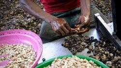 """Pandemia e concorrência """"desleal"""" da Índia ameaçam produção da castanha do cajú em Moçambique"""