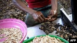 COVID-19 pode ameaçar a campanha de castanha de caju, afirmam agricultores guineenses