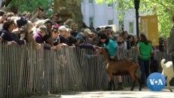 Goats Move to Manhattan's Riverside Park