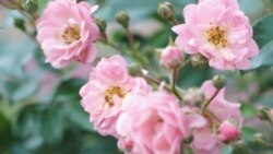 In the Garden: Getting Started With Roses