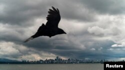 FILE - A raven flies along Spanish Banks with the downtown core of Vancouver, British Columbia, in the background, June 1, 2010.