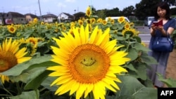 "FILE - A general view shows a ""smiling"" sunflower in a field in Tokyo on July 30, 2015. Some 20,000 sunflowers were enjoyed by visitors to the area."