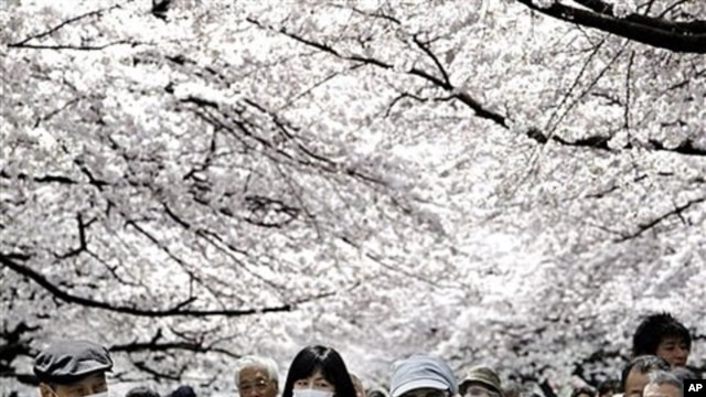 People walk under the trees of cherry blossoms at Ueno park in Tokyo, April 7, 2011