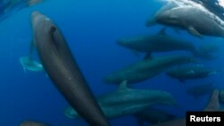 A pod of rare false killer whales (pseudo orca) swims off the coast of Paihia in the Bay of Islands, in New Zealand's North Island, April 13, 2013.