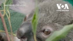 Історія коали-сироти Омео з зоопарку Сан-Дієго. Відео