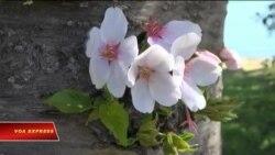 Lễ hội hoa Anh đào ở Thủ đô Washington