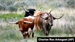 Longhorn cattle wander through the Theodore Roosevelt National Park located in the U.S. state of North Dakota.