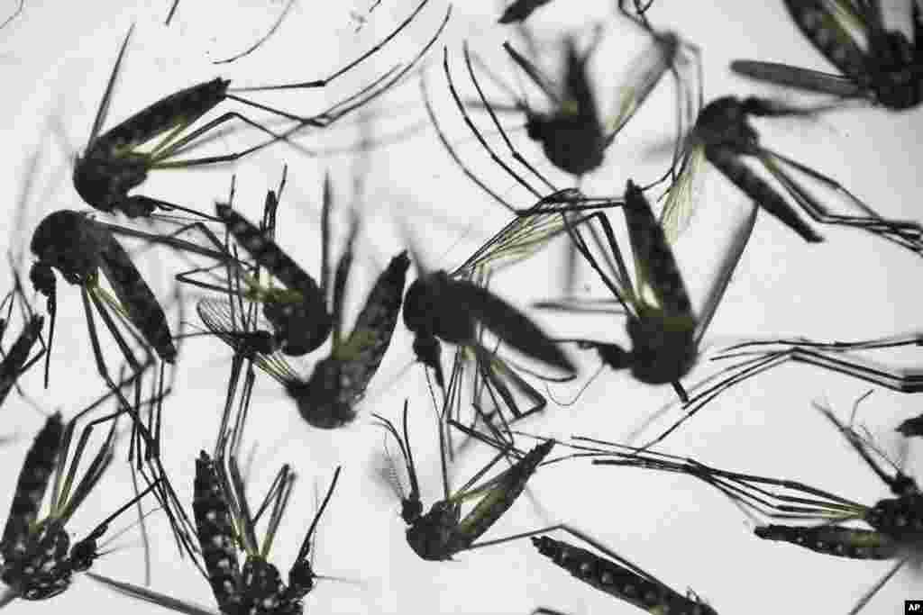 جنوبی امریکی ممالک میں مچھر کی وجہ سے زکا وائرس پھیلا ہوا ہے۔