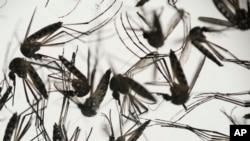 Virus Zika yang dibawa nyamuk menyebar di Amerika sementara puluhan ribu orang akan datang ke Brasil tahun ini untuk Olimpiade, dikhawatirkan menjadi batu loncatan penyebaran virus tersebut ke seluruh dunia (Foto: ilustrasi).