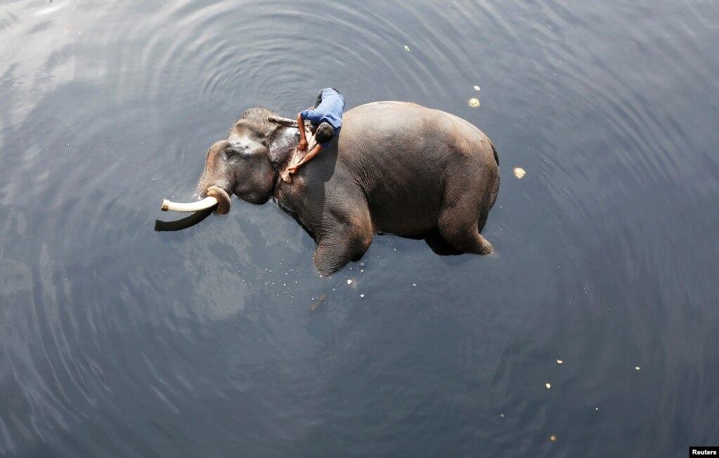 인도 뉴델리의 코끼리 몰이꾼이 탁한 야무나 강물에서 코끼리를 목욕시키고 있다.