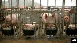 在2019年5月8日,中國河北的一個養豬場。