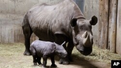 Rhinocéros. (AP Photo/Lincoln Park Zoo, Todd Rosenberg, File)
