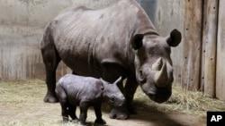 Rhinocéros. (AP Photo/Lincoln Park Zoo, Todd Rosenberg, File)