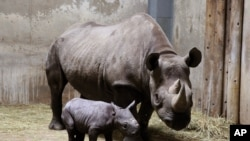 Des rhinocéros du zoo de Chicago, le 28 août 2013.(AP Photo/Lincoln Park Zoo, Todd Rosenberg)