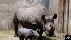 rhinocéros de 8 ans dans un zoo à Chicago, le 28 aout, 2013.