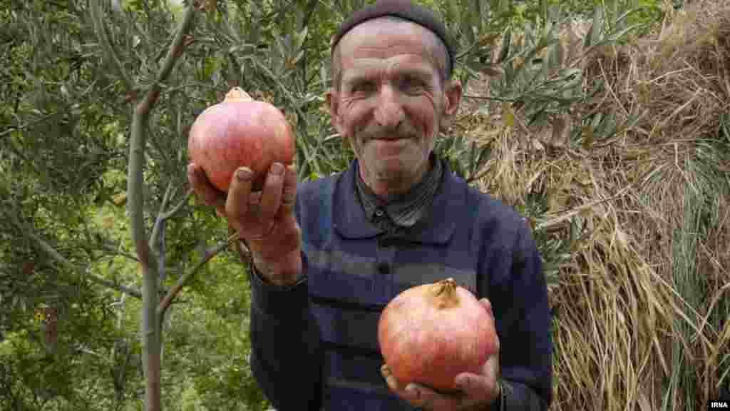 برداشت انار از روستای انبوه رودبار گیلان. عکس: ابوذر حمیدی جیرنده