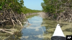 n this March 2005 photo provided by Brian Skoloff, the tip of a kayak is seen paddling into a mangrove-lined canal on Raccoon Key, Fla. (AP Photo/Brian Skoloff)