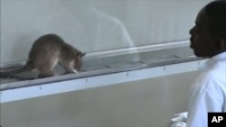 APOPO trains sniffer rats to detect explosives and diagnose disease, and in this case, a sniffer is being trained to correctly detect tuberculosis in human sputum samples