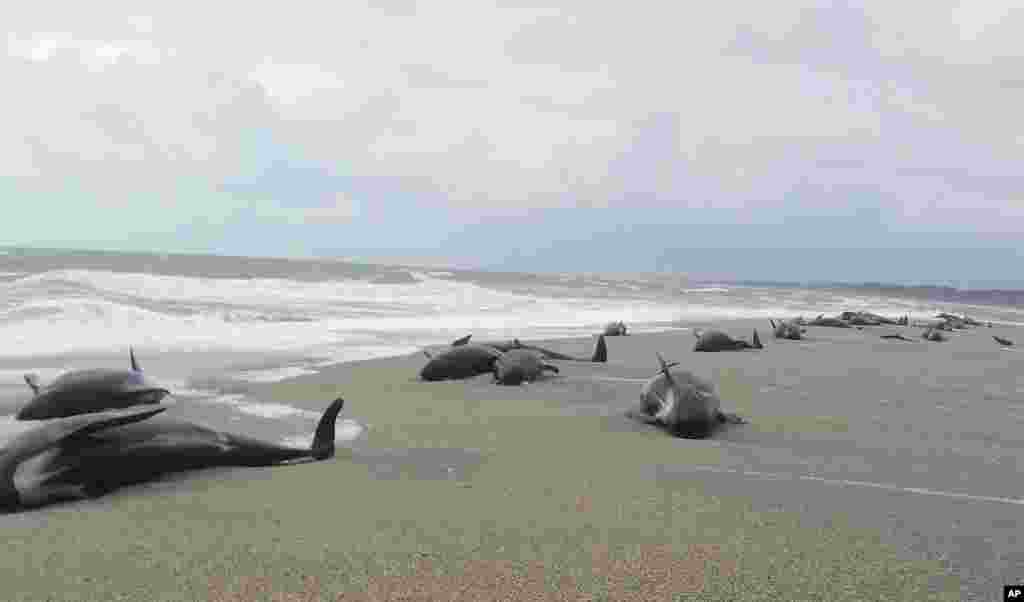 In this photo released by the The New Zealand Department of Conservation (DOC), shows 38 whales stranded at the mouth of the Okuru river, just south of Haast, west coast of New Zealand's South Island.