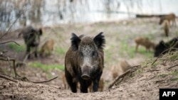 FILE - Wild boars are seen in a forest in Berlin's Tegel district, April 5, 2016.