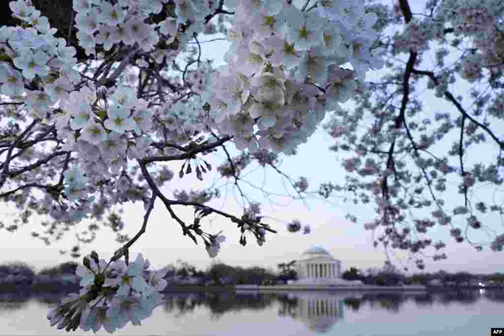 Cherry blossoms are seen in front of the Jefferson Memorial at the Tidal Basin in Washington, D.C.