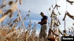 امریکی ریاست الی نوائے میں ایک زرعی ماہر سویابین کی فصل کا معائنہ کر رہا ہے۔