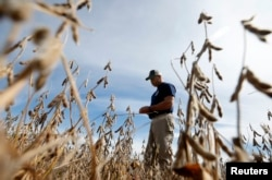 Ryan Roberts walks through a soy bean field to check if it is ready for harvest in Minooka, Illinois, Sept. 24, 2014. Corn and soybean prices have been depressed by concerns about trade tariffs and the increased cost of farm equipment.