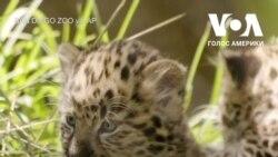 Маленькі амурські леопарди в зоопарку Сан-Дієго. Відео
