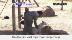 Nam Phi: 3 con sư tử trắng hiếm thấy xuất hiện trước công chúng (VOA60)