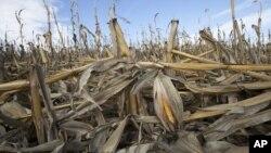Kekeringan yang melanda beberapa negara bagian AS, merusak ladang jagung dan menggagalkan panen tahun lalu (foto: dok). Tahun 2012 merupakan tahun terhangat di Amerika.