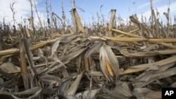 Trận hạn trong mùa hè 2012 khiến các vườn bắp Bennington, bang Nebraska bị hư hại